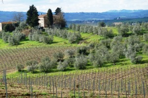 Hills of Chianti covered by vineyard and olive trees